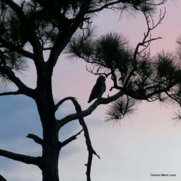 owl in tree at sunset