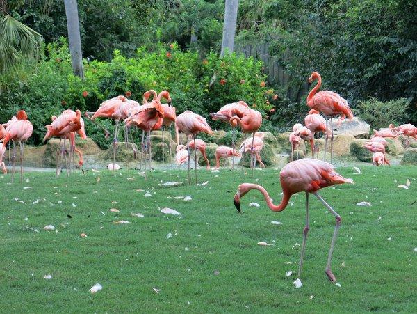 Flamingos at Busch Gardens, Tampa, FL