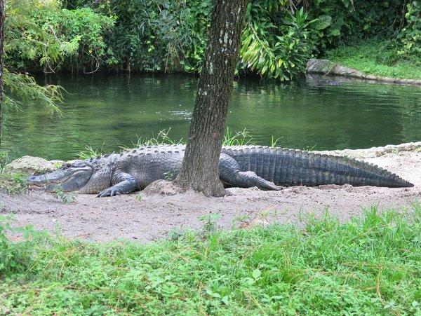 Alligator at Busch Gardens, Tampa, FL