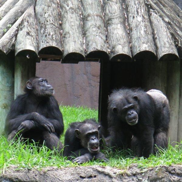 Chimpanzees at Busch Gardens Tampa, Florida