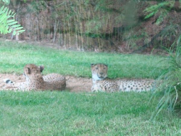 Cheetahs at Busch Gardens, Tampa, FL