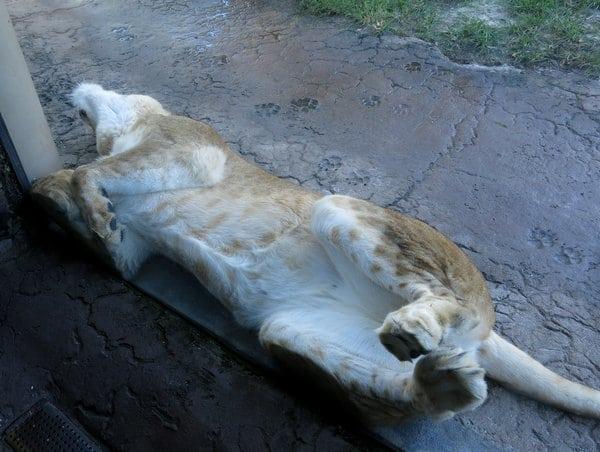 Lion at Busch Gardens Tampa Florida