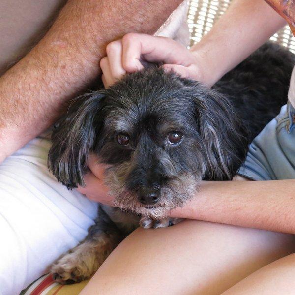 Yorkie poo dog in girl's lap