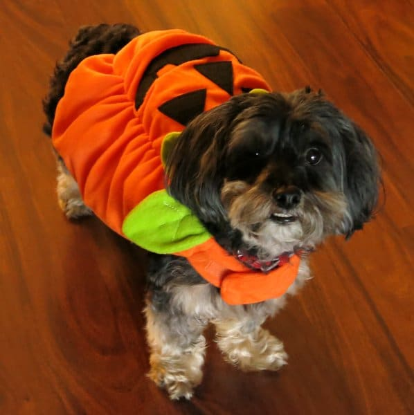 Dog ready to go Trick or Treating with a pumpkin costume on